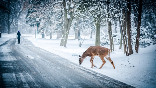 A Deer Crossing a Snowy Road in the Woods